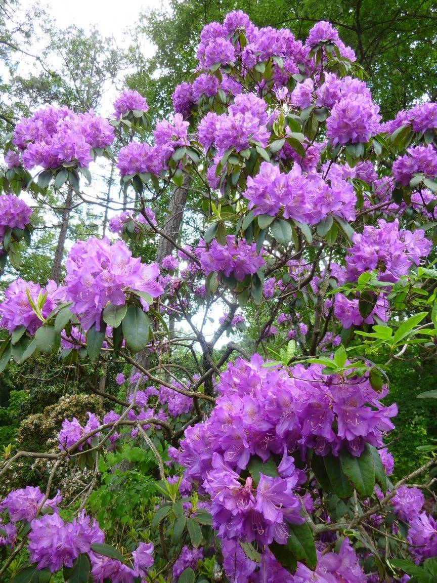 紫色杜鹃花在绽放