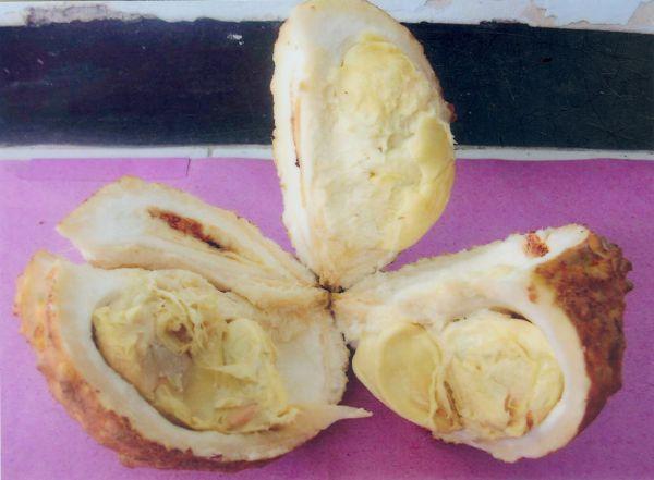 Durian Tanpa Duri