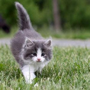 Gambar Kucing Parsi
