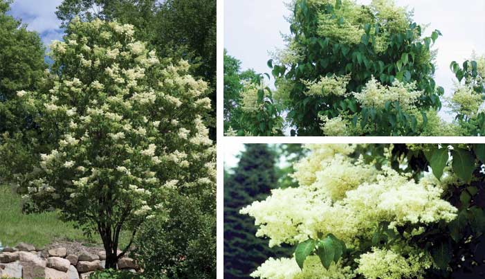 The fabulous japanese tree lilac ivory silk and others this is quite different from the spreading habits of the other small flowering trees such as dogwoods cherries magnolias and crabapples mightylinksfo
