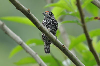 Speckle chested Piculet
