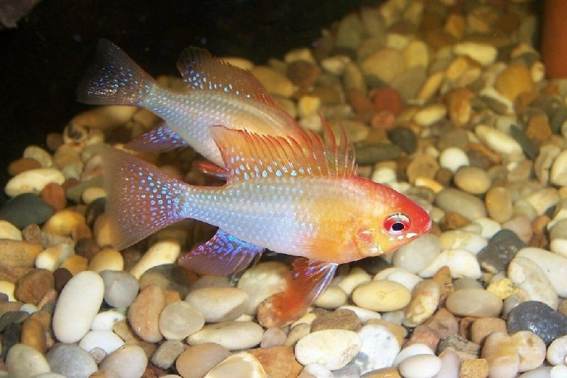 17. Jenis Ikan Hias Aquascape Ram