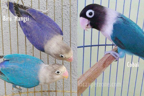 perbedaan lovebird biru mangsi dan violet burung labet