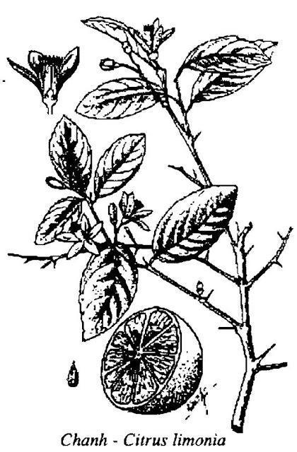 Hình vẽ CHANH - Citrus limonia - Nguyên liệu làm thuốc Chữa Ho Hen