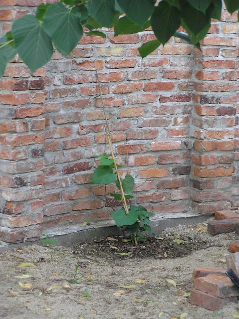 młody kokornak, pnącze ogrodowe