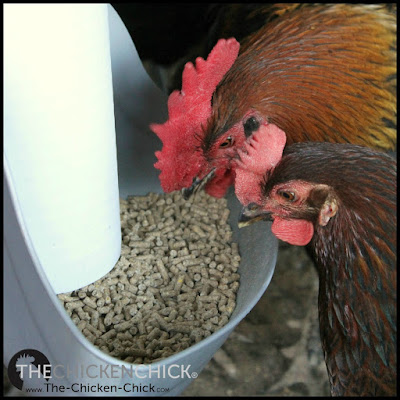 To make eggshells, laying hens require 4-5 grams of calcium per day,[1] which is three times more dietary calcium than non-laying hens, according to Dr. Biggs.