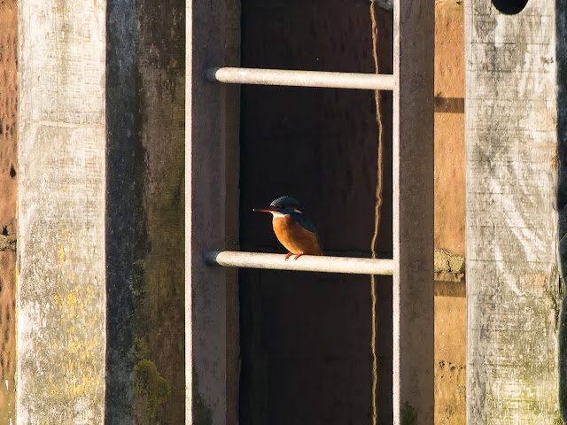 Photo of a kingfisher on one of the escape ladders at Maryport Marina