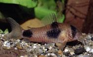 Jenis Ikan Corydoras weitzmani