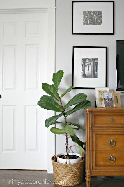 fiddle leaf plant tips