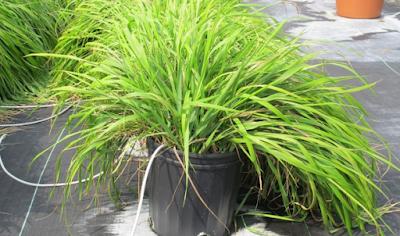 Κουνούπια: Αυτό είναι το φυτό που τα απωθεί – Δείτε τι κάνει