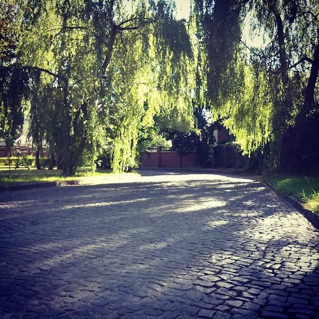 Калининград, ивы над дорогой. ул. Верхнеозерная