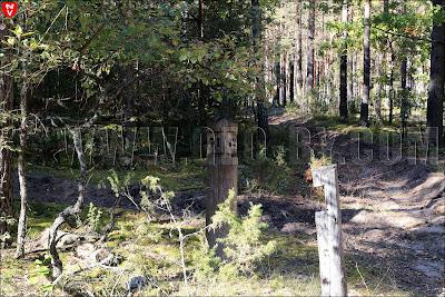 Квартальный столб в Налибокской пуще. 71-62