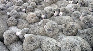 tante pecore grigie assieme