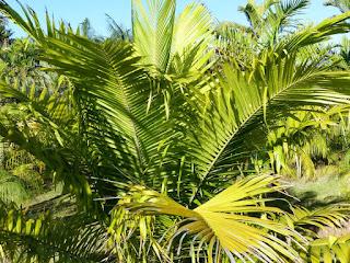 Elaeis oleifera - Palmier à huile d'Amérique
