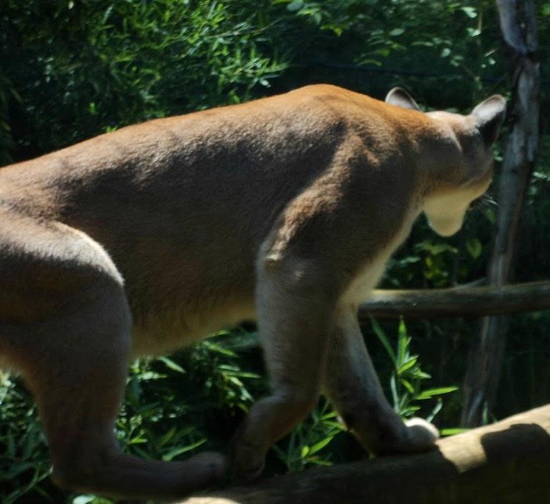 Puma no Zoo de Gramado