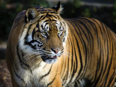 Fakta Unik Hewan, Fakta Unik Harimau, Keunikan Harimau, Deskripsi Harimau, Tentang Harimau, Info Menarik Harimau.