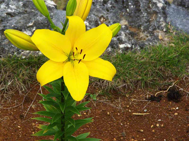flowers, yellow lily, festival