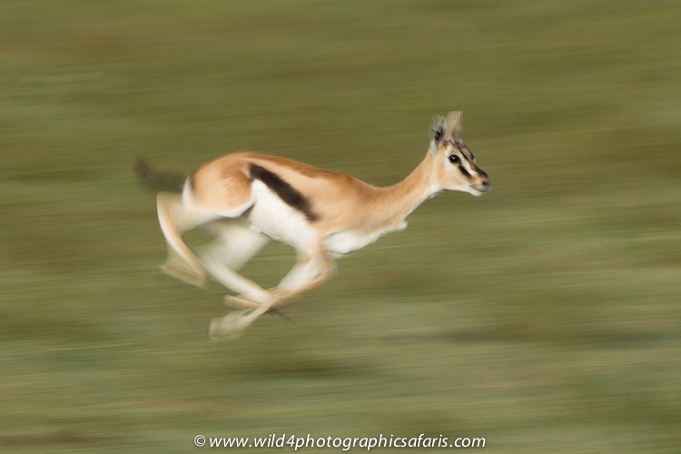 gazelle running from lion - photo #38