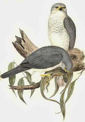 Azor variable Accipiter noavaehollandiae