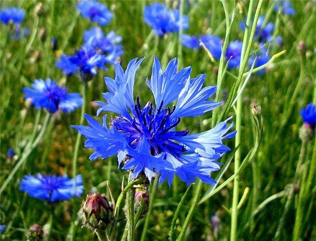 Полевые цветы сибири фото