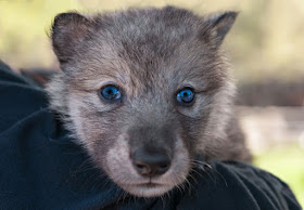 The face of a wolf puppy peers over a person's shoulder