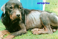 sarna en perro - sarna sarcóptica
