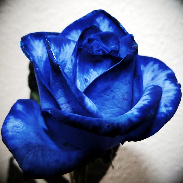 hoa hong xanh nhuom mau
