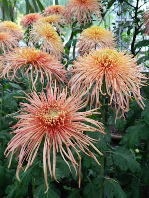 Orange spider mum at 2016 Allan Gardens Conservatory  Fall Chrysanthemum Show by garden muses-not another Toronto gardening blog