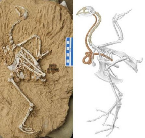 Song from the distant past, a new fossil pheasant from China preserves a super-elongated windpipe