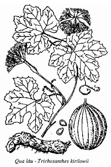 Hình vẽ Qua Lâu - Trichosanthes kirilowii - Nguyên liệu làm thuốc Chữa Cảm Sốt