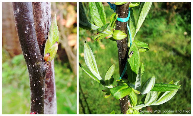 Medlar Tree growing leaves