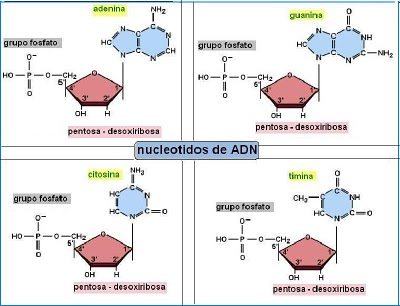 Nucleósidos Nucleótidos Y ácidos Nucleicos By Andrés