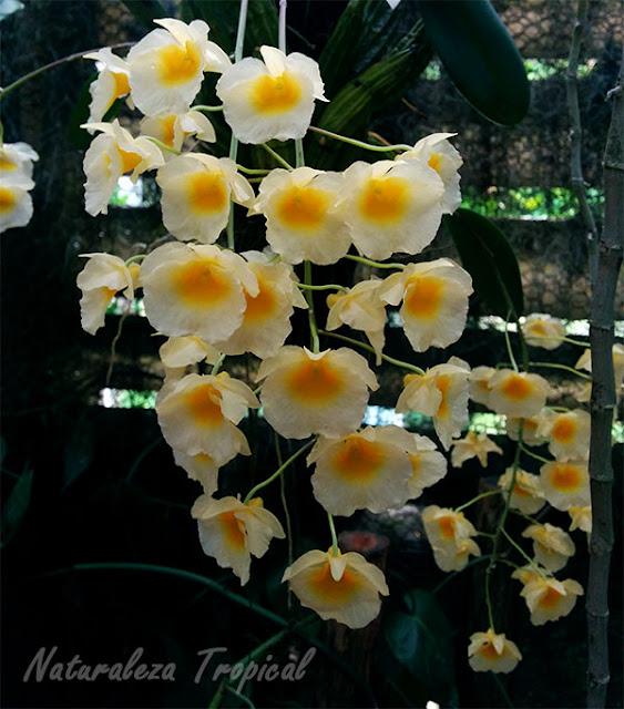 Lluvia de orquídeas con Dendrobium farmerii