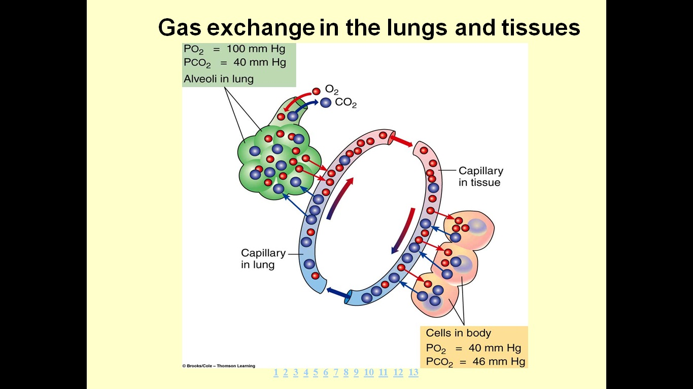 LAMAN ASHAARIO: Transport of Oxygen and Carbon dioxide