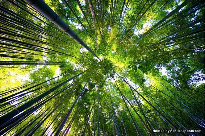 Hutan Bambu, Kyoto