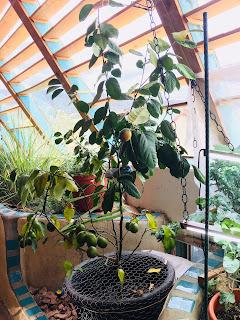 Trowel and Error - Indoor Lemons