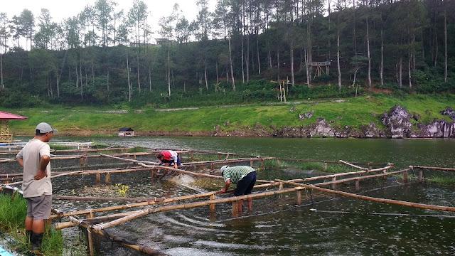 Kerambah dan panen Ikan di telaga Menjer