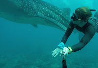 Freediving Maldives Whale shark - PJ Freediving
