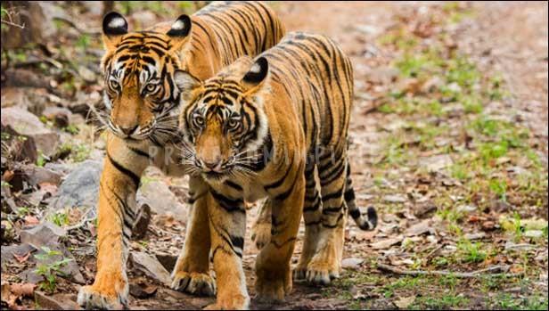 Mimpi Dikejar Harimau