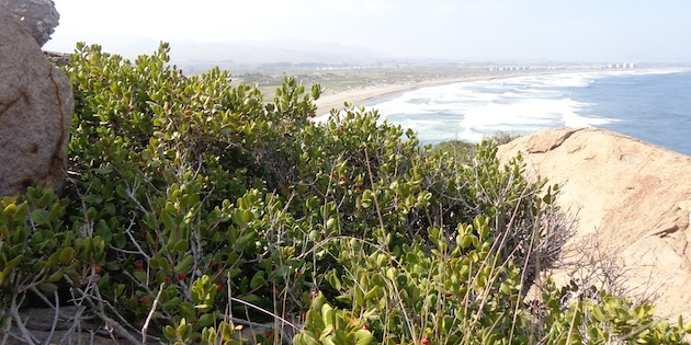 Arbusto Lucumillo en roquerío con vista al mar