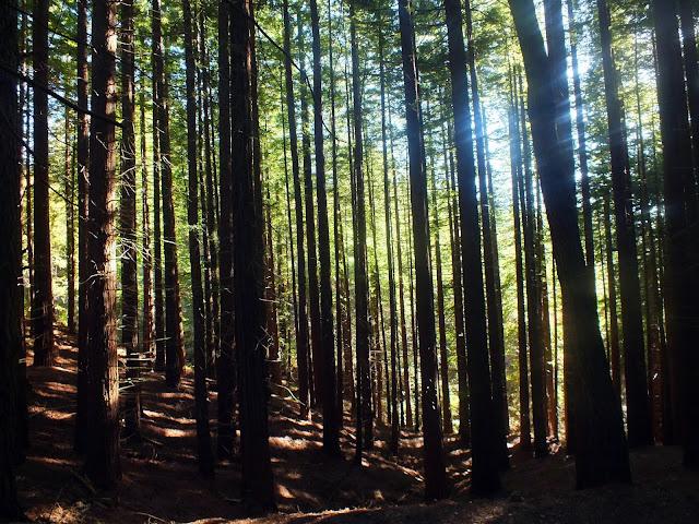 visitar bosque de secuoyas en Cantabria