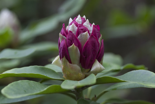 Rododendron, Risholmen