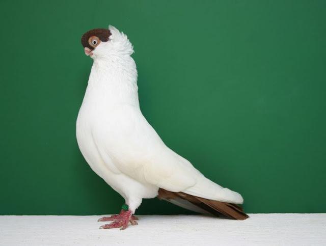 e9851f85e6922826b19cb276d522282e--lancaster-pigeon-breeds