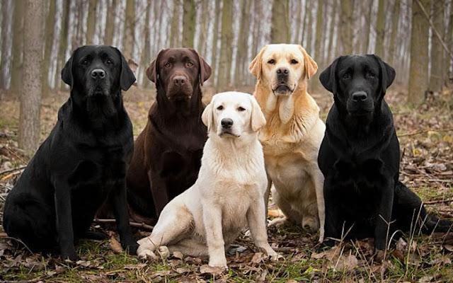 giống chó Labrador