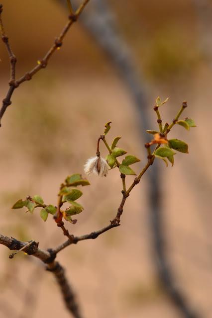 larrea tridentata, creosote bush, sonoran, desert, small sunny garden, amy myers, photography, seeds