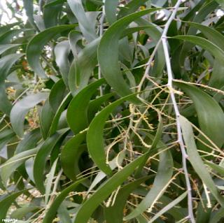 EARPOD WATTLE LEAVES - கத்திக் கருவேல் இலைகள்