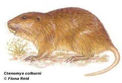 roedores de argentina Tuco tuco vientre blanco Ctenomys colburni