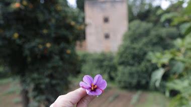 Cosecha de flores de azafrán en las huertas medievales de la Alhambra