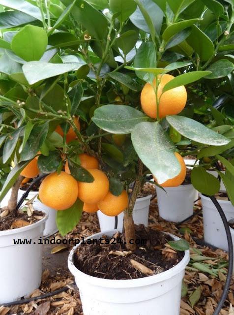 Rutaceae CALAMONDIN PLANT