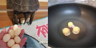 Seekor Kura-Kura Bertelur di Apartemen, Telurnya Malah Digoreng Oleh Penghuninya